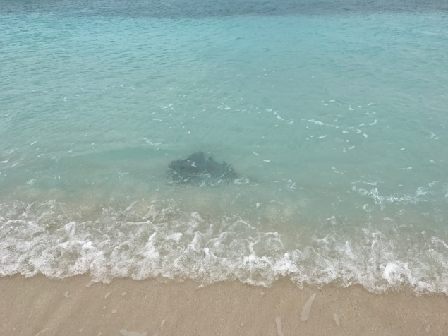 This ray was so close to the beach!