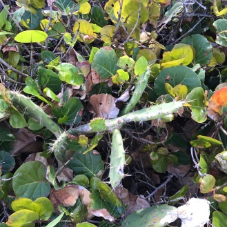 Cactus in the Bahamas!