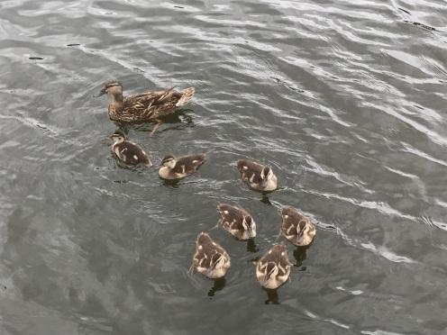 Fuzzy Ducklings!
